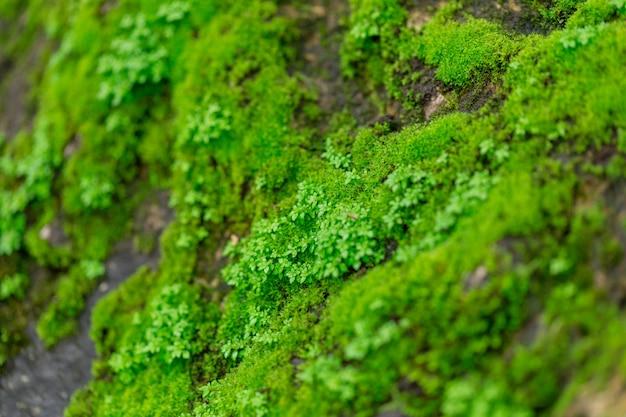 Muschio verde su pietra bagnata nella foresta pluviale con umidità