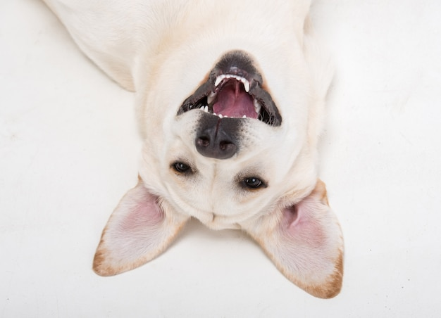 Museruola del primo piano del simpatico cane labrador.