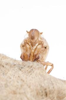 Muta della cicala isolata su fondo bianco