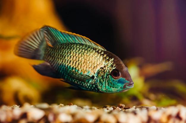 Nannacara. il pesce blu galleggia in un primo piano domestico dell'acquario.