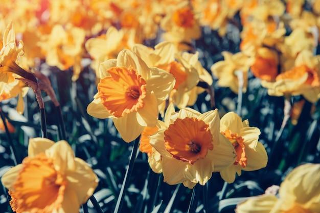 Narcisi gialli nei giardini dell'olanda. retro filtrata.