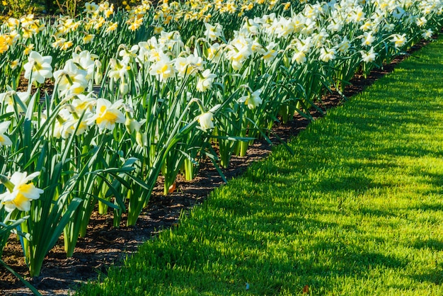 Narcisi gialli nei giardini