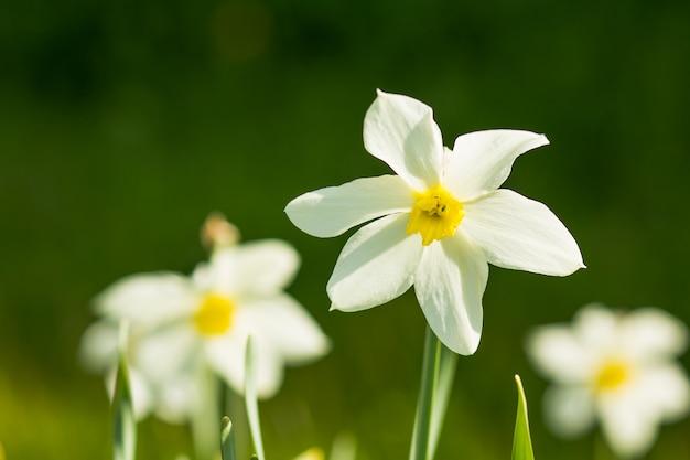 Narcisi sul sole su sfondo blu cielo di primavera.