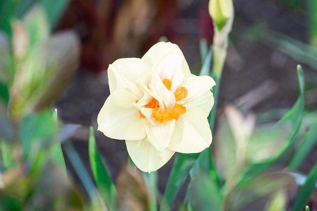 Narciso bianco (narciso poetico)