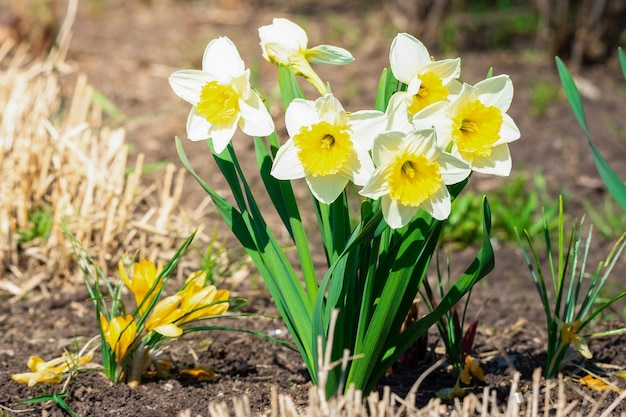 Narciso bianco (narcissus poeticus)