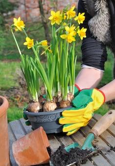 Narciso e giardinaggio