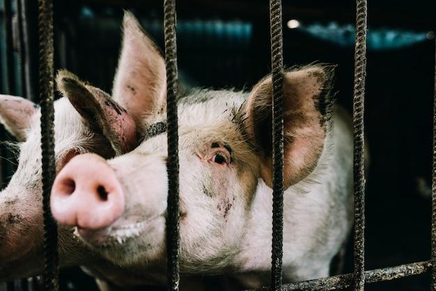 Nasi domestici di maialino annusano il cibo dalla barra metallica