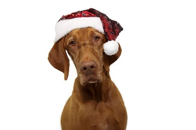 Natale del cane del puntatore che porta il cappello rosso del babbo natale isolato su bianco