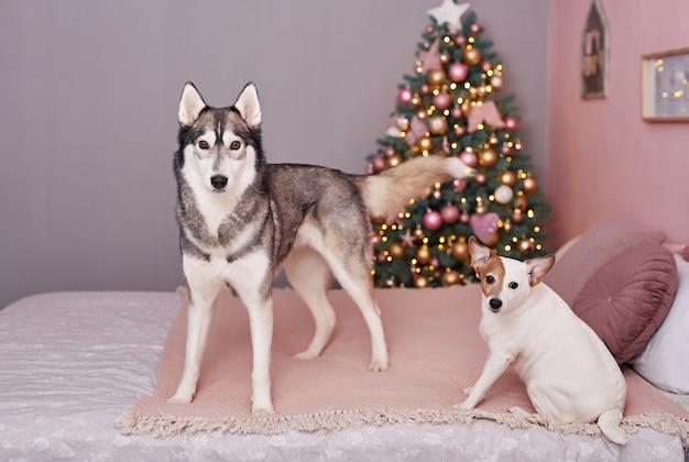 Natale jack russell terrier e husky. concetto di hotel per animali.