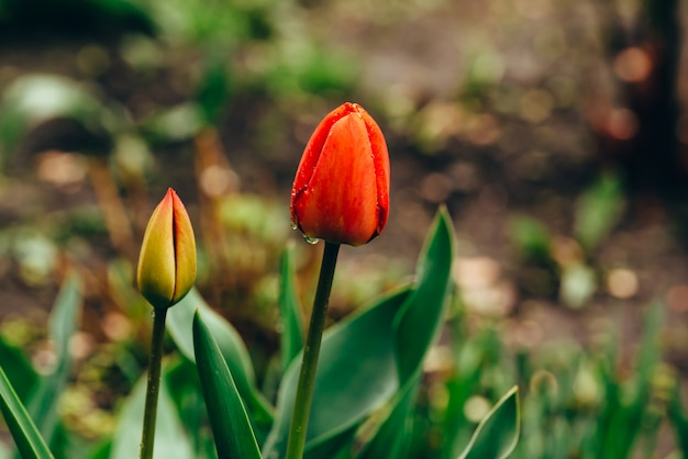 Natura morta con bellissimi tulipani non aperti delicati