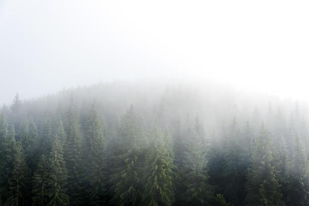 Nebbia nebbiosa nell'abetaia sui pendii di montagna nelle montagne carpatiche. abbellisca con bella nebbia in foresta sulla collina.