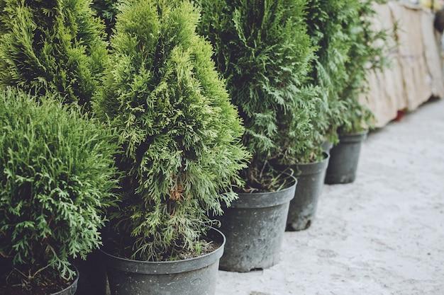 Negozio di alberi di natale. abeti degli alberi di natale in vasi da vendere.