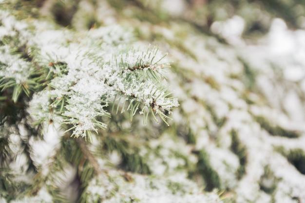 Neve sui rami di abete in inverno