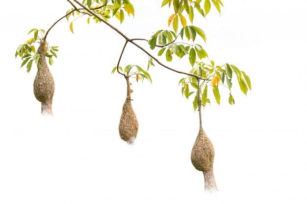 Nido dell'uccello dell'erba asciutta di brown dell'uccello del tessitore sull'albero isolato su bianco