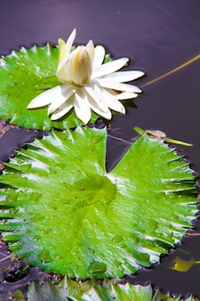 Ninfea bianca sul piccolo lago in seyshelles