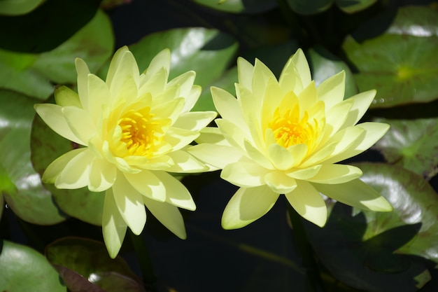 Ninfea gialla sul fondo dell'habitat naturale.