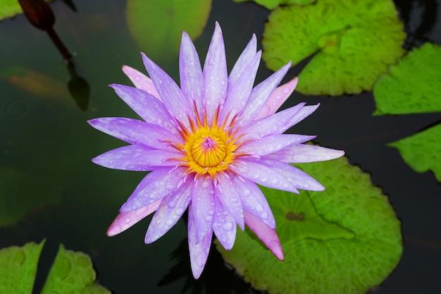 Ninfea rosa di fioritura in stagno