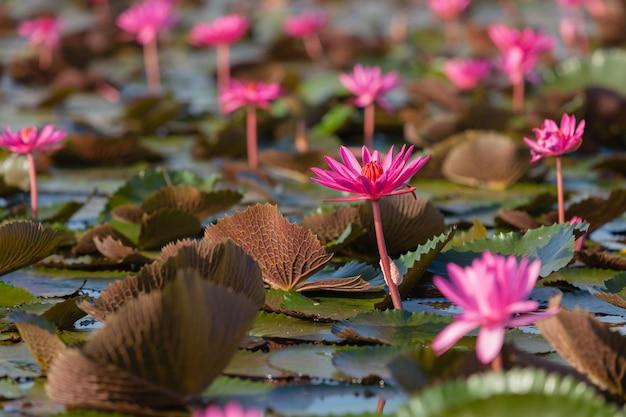 Ninfea rosa o loto.