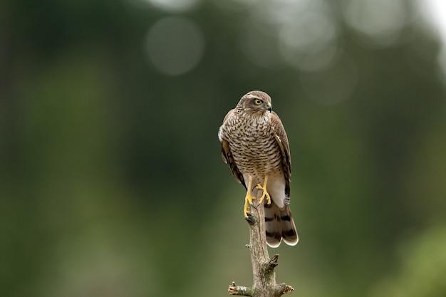 Nisus femminile dell'accipiter del falco del passero che si siede su un ramo curvo