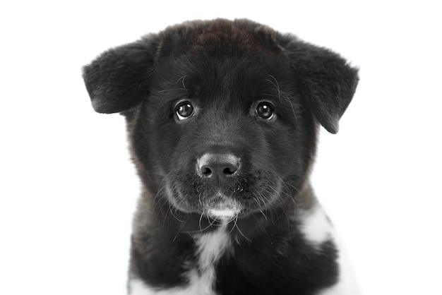 Nizza closeup del cucciolo di akita americano