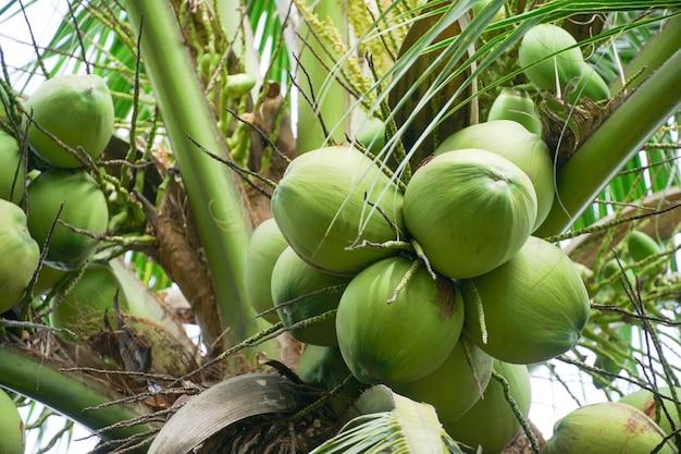Noci di cocco sul ramo di un albero