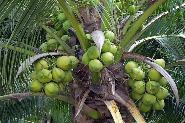 Noci di cocco sull'albero in giardino.
