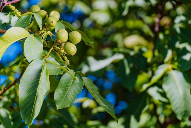 Noci fresche che appendono su un albero
