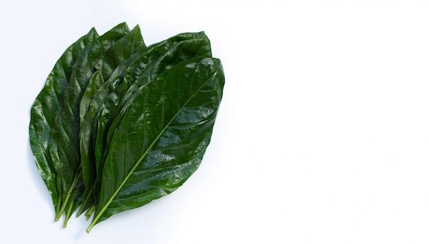Noni o morinda citrifolia foglie su sfondo bianco.