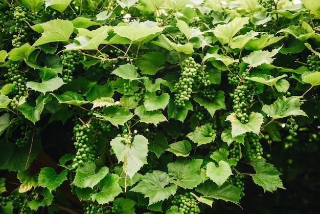 Numerosi grappoli di uva verde non matura in fase di sviluppo che pendono da una vite.