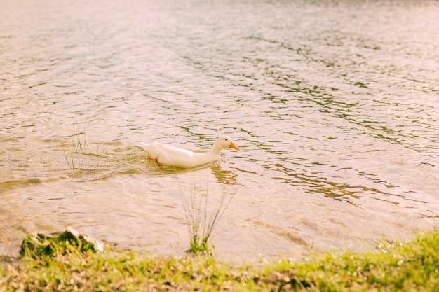 Nuoto bianco dell'anatra nel fiume il giorno soleggiato