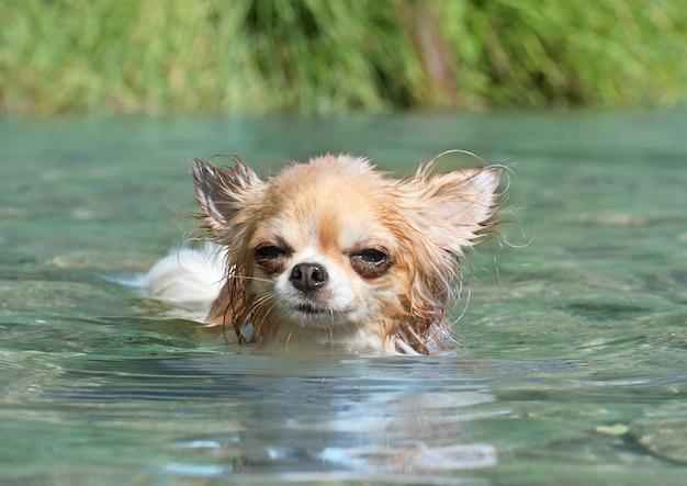 Nuoto chuhuahua dio nel fiume