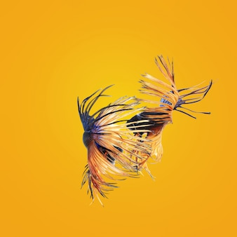 Nuoto coppia di pesci combattenti siamesi in amore. concetto di san valentino
