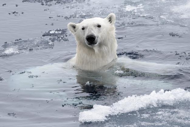 Nuoto dell'orso polare (ursus maritimus) nella fine del mare artico