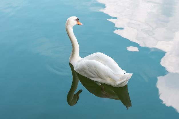 Nuoto di colore bianco dell'uccello (cigni, cigni muti o cygnus) in uno stagno o acqua in una natura selvaggia