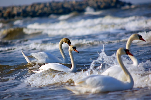 Nuoto swans