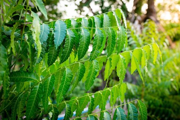 Nuova foglia superiore della pianta di neem. azadirachta indica - un ramo di foglie di albero di neem. medicina naturale.