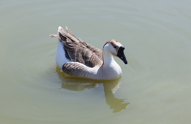 Oca che nuota nel lago