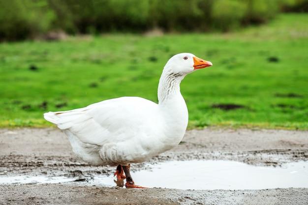 Oca domestica bianca che cammina sull'acqua. il concetto è un pollame