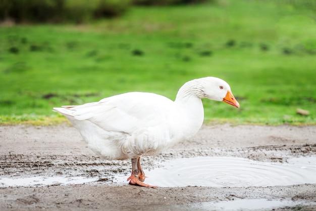 Oca domestica bianca in piedi nelle pozzanghere