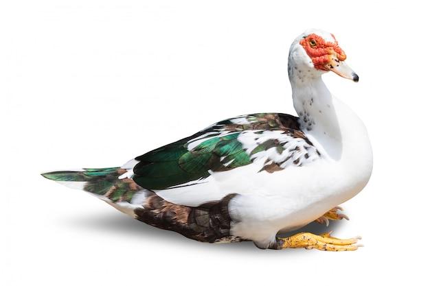 Oca isolata su sfondo bianco.