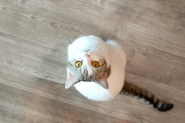 Occhi di gatto bianco che guardano in cima