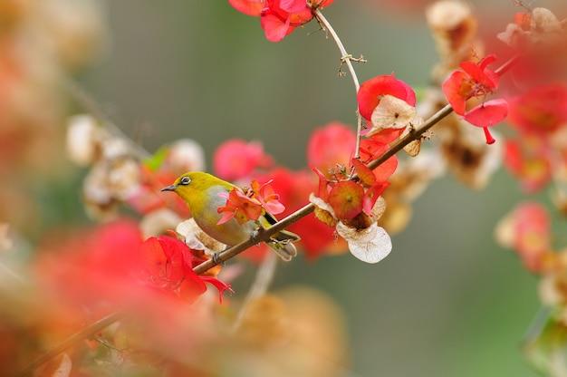 Occhialino orientale, uccello giallo adorabile con la priorità bassa dei fiori rossi.