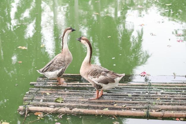 Oche canadesi che vivono su burle di bambù galleggianti