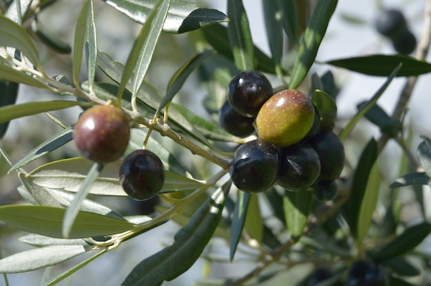 Olive appese all'albero