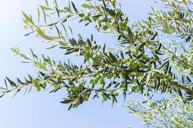 Olive su ulivo in turchia. stagione immagine della natura