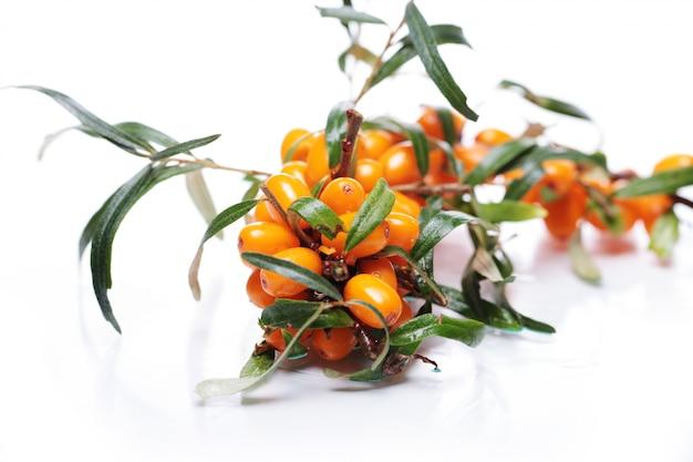 Olivello spinoso su sfondo bianco