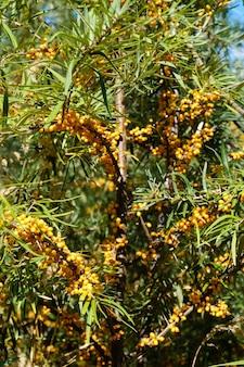 Olivello spinoso sull'albero. le piante di olivello spinoso sono risorse naturali incredibilmente importanti