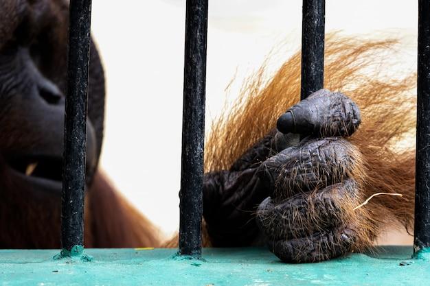 Orangutan nello zoo
