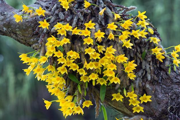 Orchidea gialla su un albero nella foresta