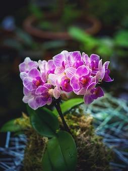 Orchidea phalaenopsis rara in fiore. allevamento di orchidee.